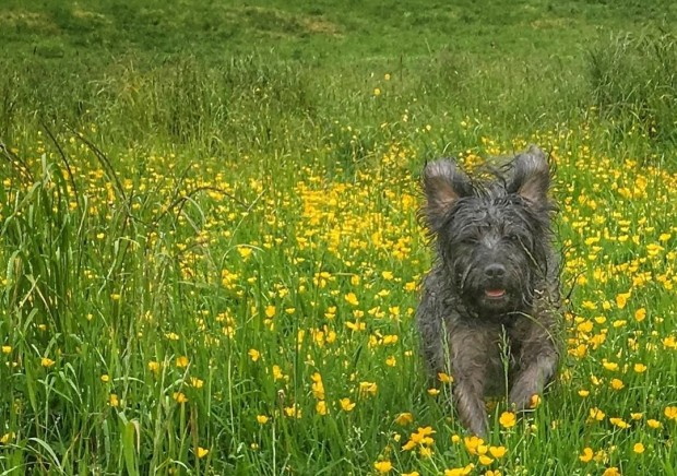 Dog running in buttercup field